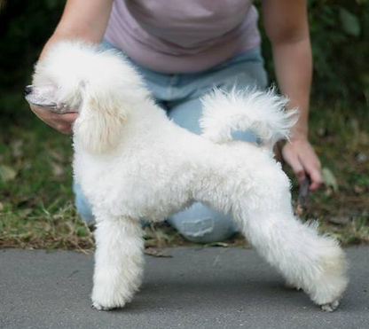 Miniature Toy Poodle