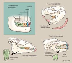Mammel teeth