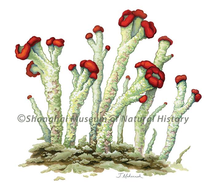 Cladonia floerkeana - lichen