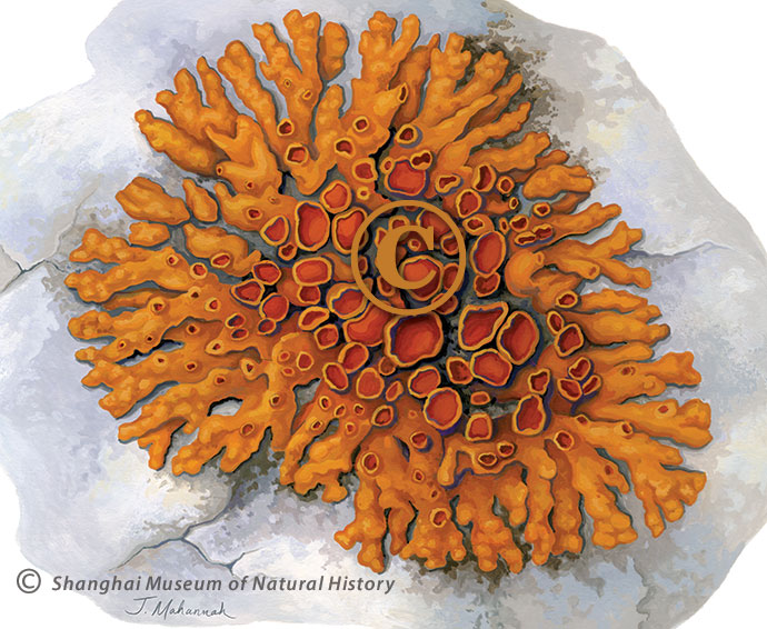 Xanthoria elegans - lichen