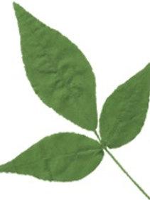 Billipatra