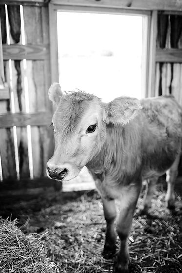 agriculture-animal-beef-cattle-1449656_e