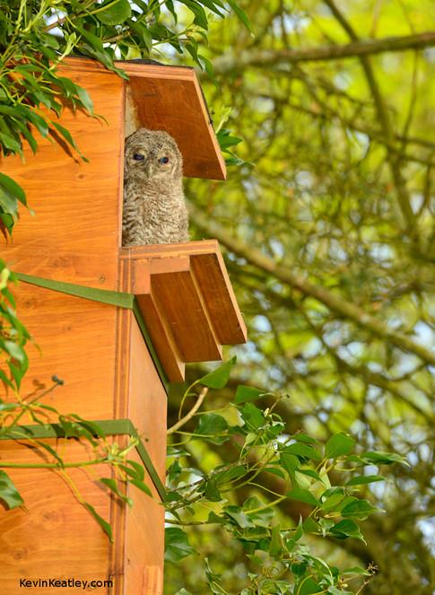 Tawny Owl Box