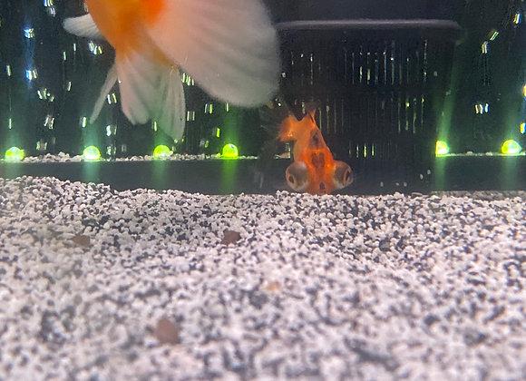 2-3 inch Black and Gold Telescope  Goldfish