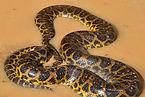 Snake in Mud