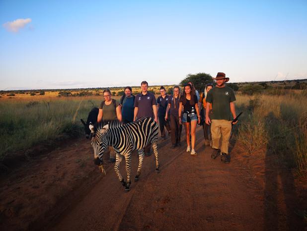 Volunteers Walking With Zebra