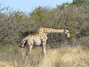Giraffe giving birth