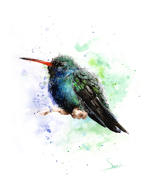 Broad Billed Hummingbird Watercolor Print