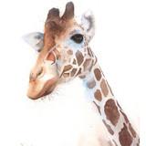 Watercolor Giraffe, 16x20, 2016