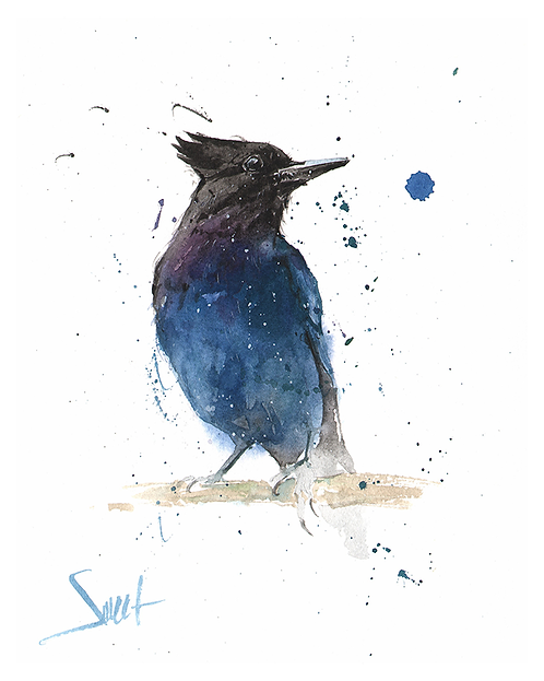 Stellar Jay Watercolor Print