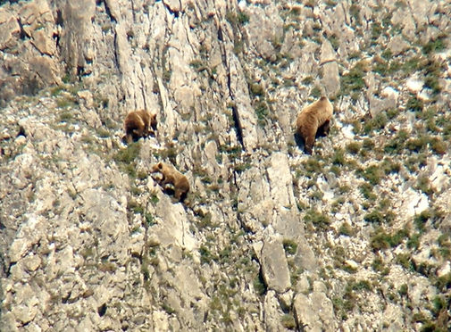 avistamiento-oso-pardo-cantabrico-asturi
