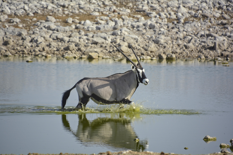 Gemstock-Oryx Etosha Nat'l Park Namibia
