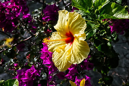 Hawaiian State Flower Yellow Hibiscus O'