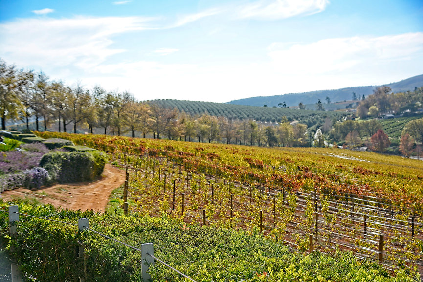 Vineyard At Delaire Graff Estate ~ Wine