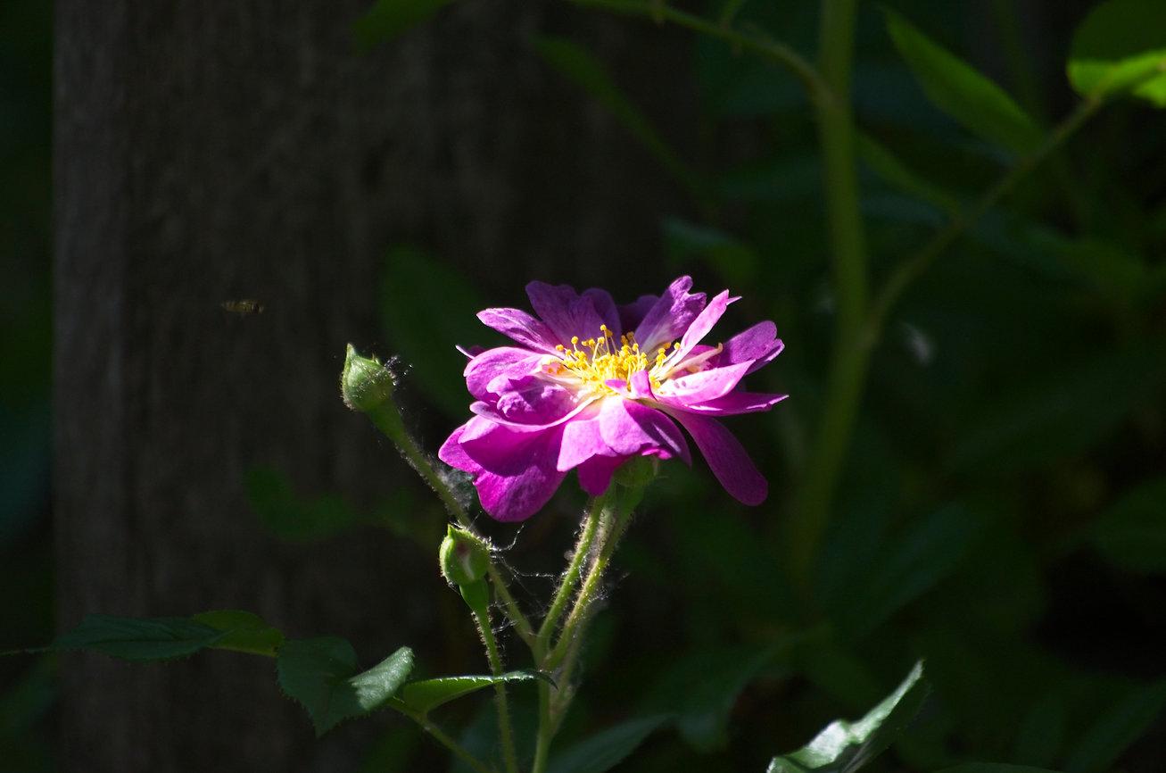 Val's Garden Lavender Rose.jpg