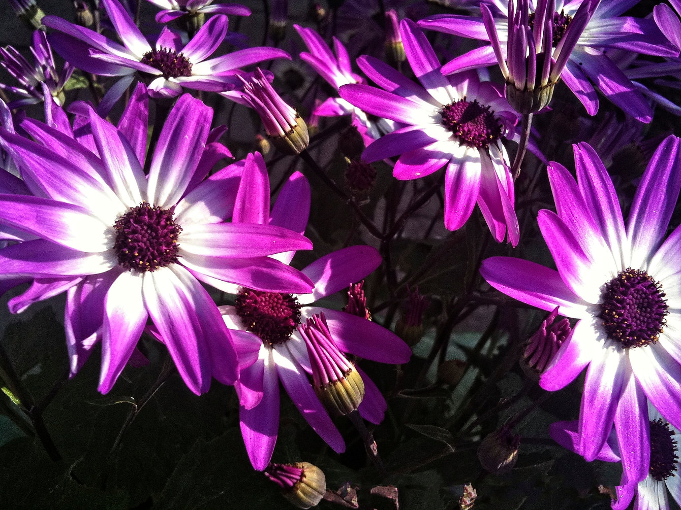 Purple Daisies Crystal Lake .jpg
