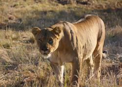 Lioness Standing Safari Plains Mabula So