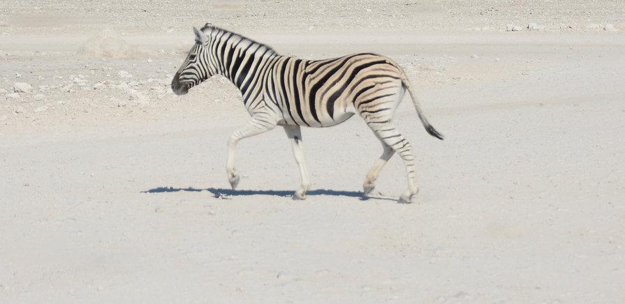 Zebra White & Black Etosha National Park
