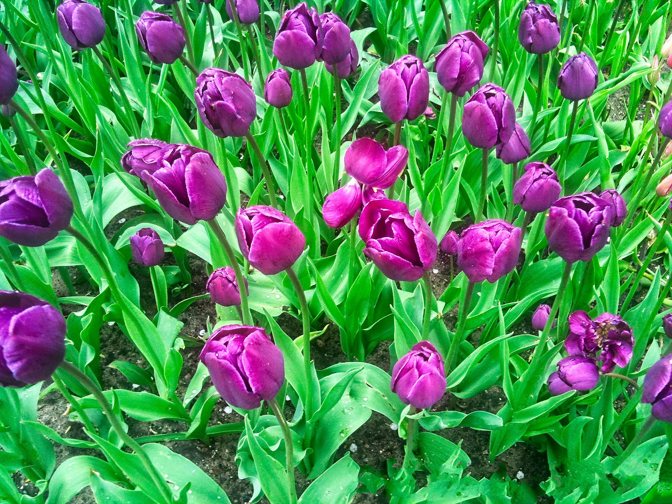 Purple Tulips .jpg