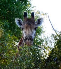 Giraffe Face Safari Plains, Mabula, Sout
