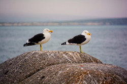Two Seagull on Beach At Langebaan, South