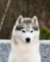 Tail Nort Grand Perfection , puppies for sale , щенки хаски в Беларуси , питомник Анрус Хаус