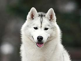 Derby Daiquiri Anrus House , белогенные хаски в Беларуси , лучшие хаски Витебск , kennel Anrus House , купить белого хаски , купиь щенка в Витеске