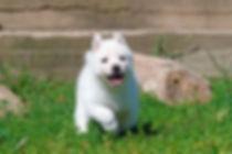 white husky , купить хаски в Беларуси , лучшие щенки хаски в Беларуси , щаски в Витебске , Anrus House , Титулованные хаски