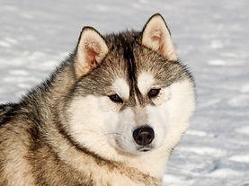 Snow Symphony Near my Heart , Kennel Topaz ,  купить щенка хаски в Витебске , импортне крови в Беларуси , ТОП крови хаски в Беларуси , элитные щенки .