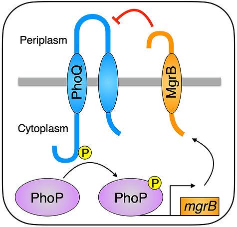 MgrB-PhoQ.jpg