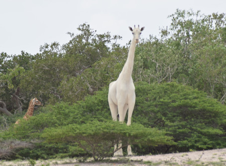 April 2020 Book of the Month:    The White Giraffe