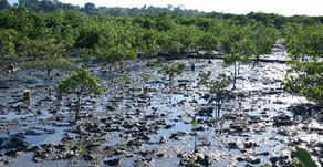 Utilizando garrafas PETs, ecossistema de mangue foi totalmente recuperado