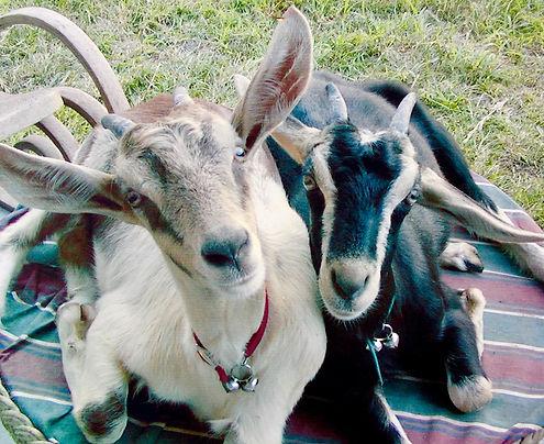kona coffee goats