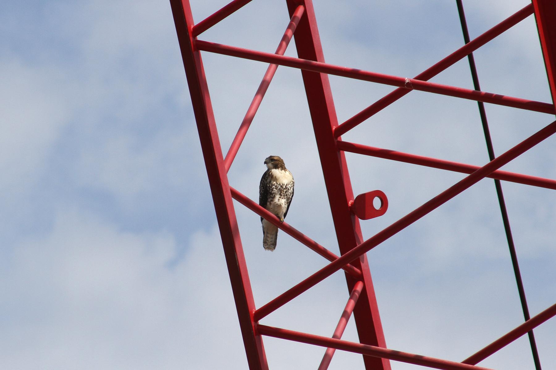 Hawk on crane