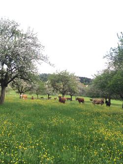 Kühe im Obstgarten