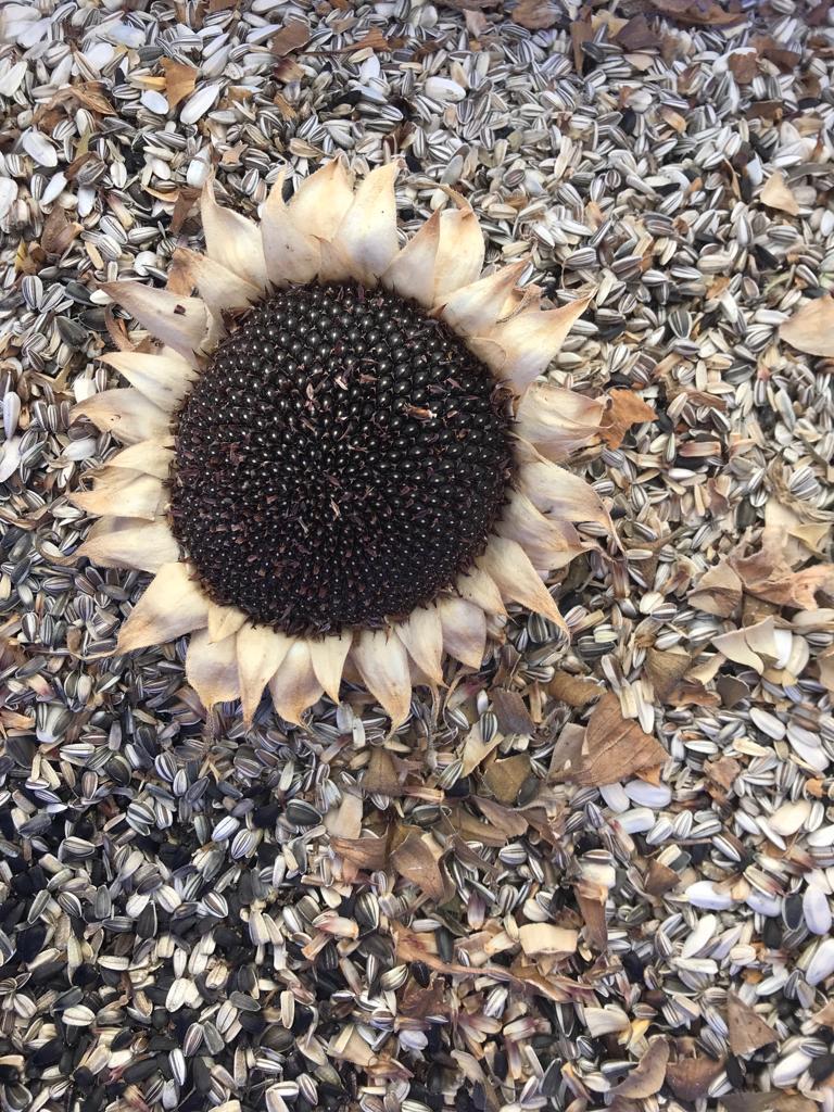 Sonnenblumenkerne