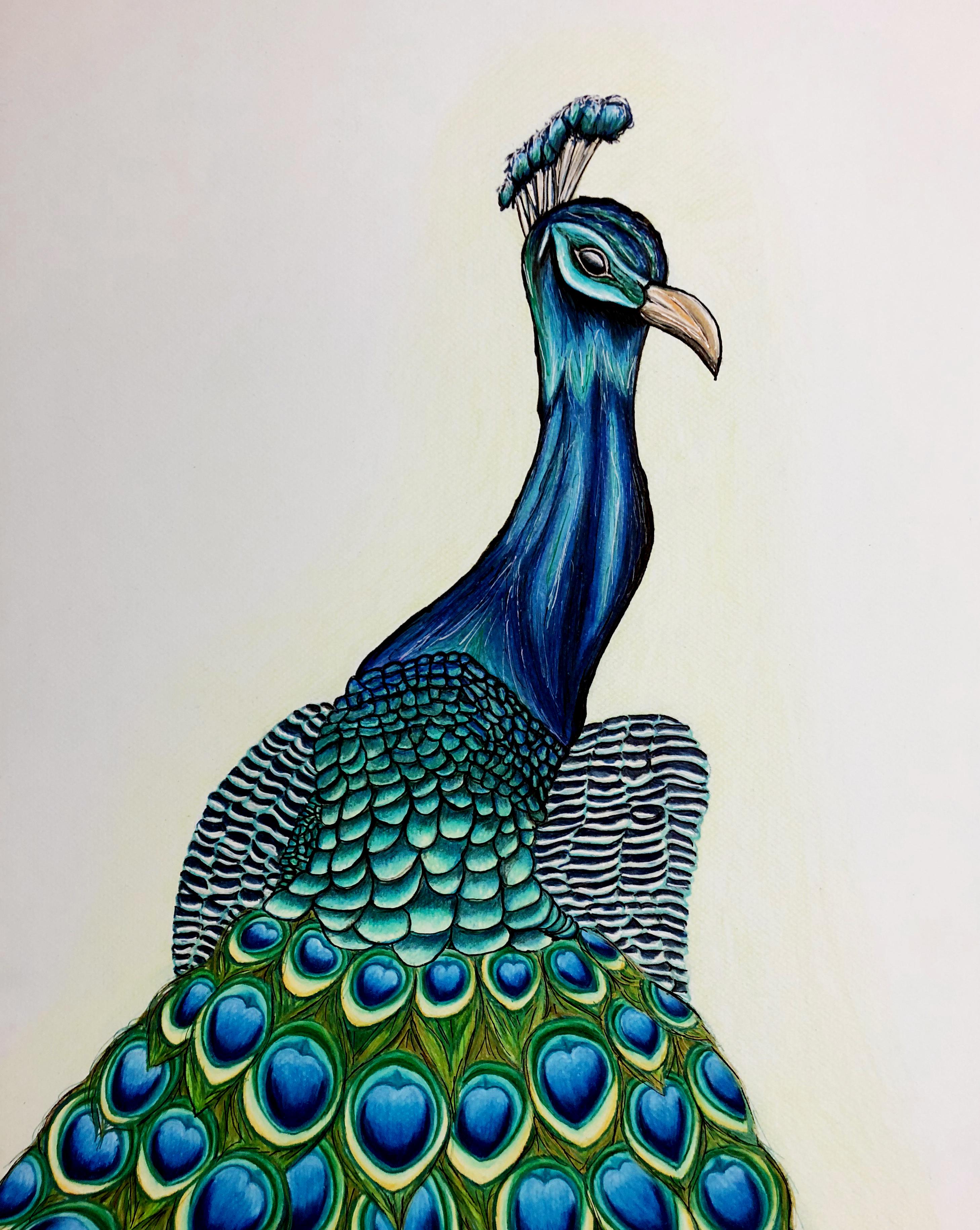Blue Peacock
