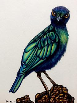 Blue Starling