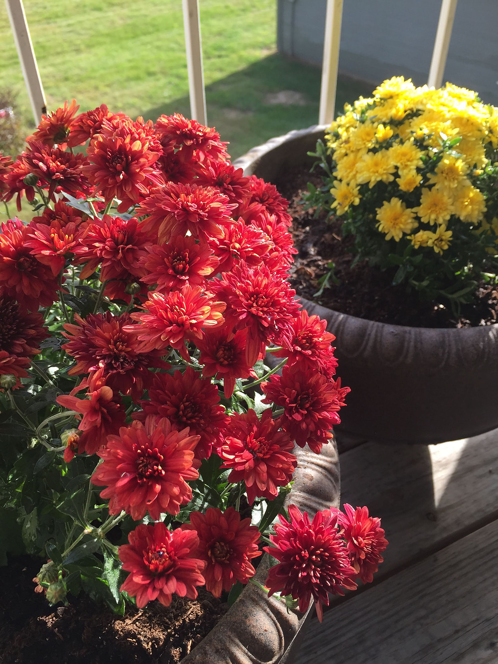 Red and Yellow mums
