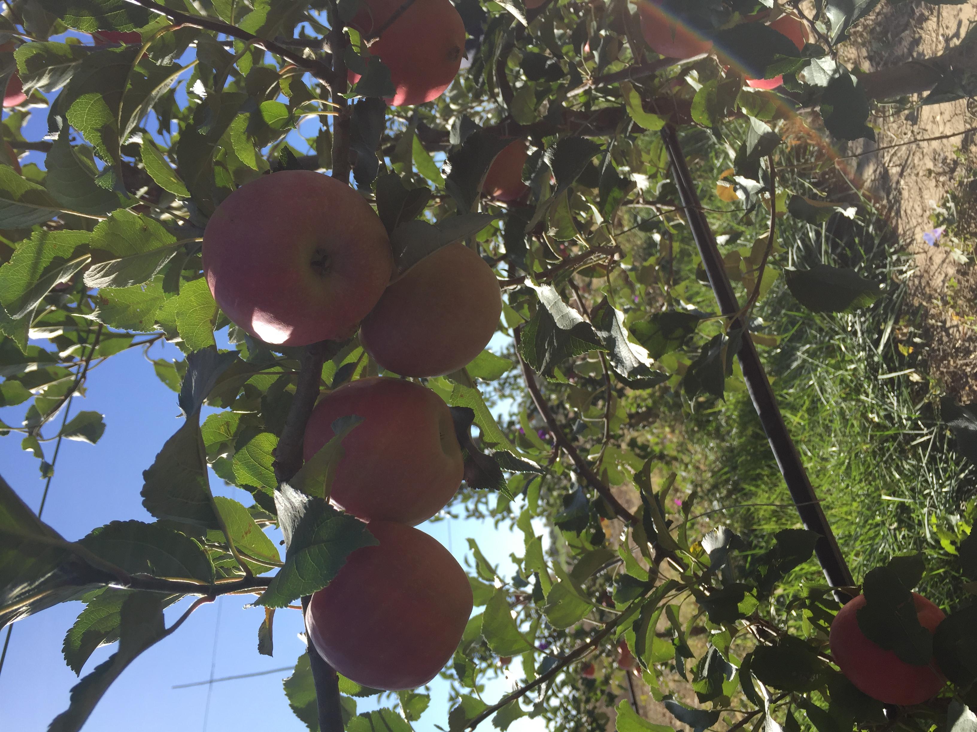Apple Picking at Vala's Pumpkin Patch