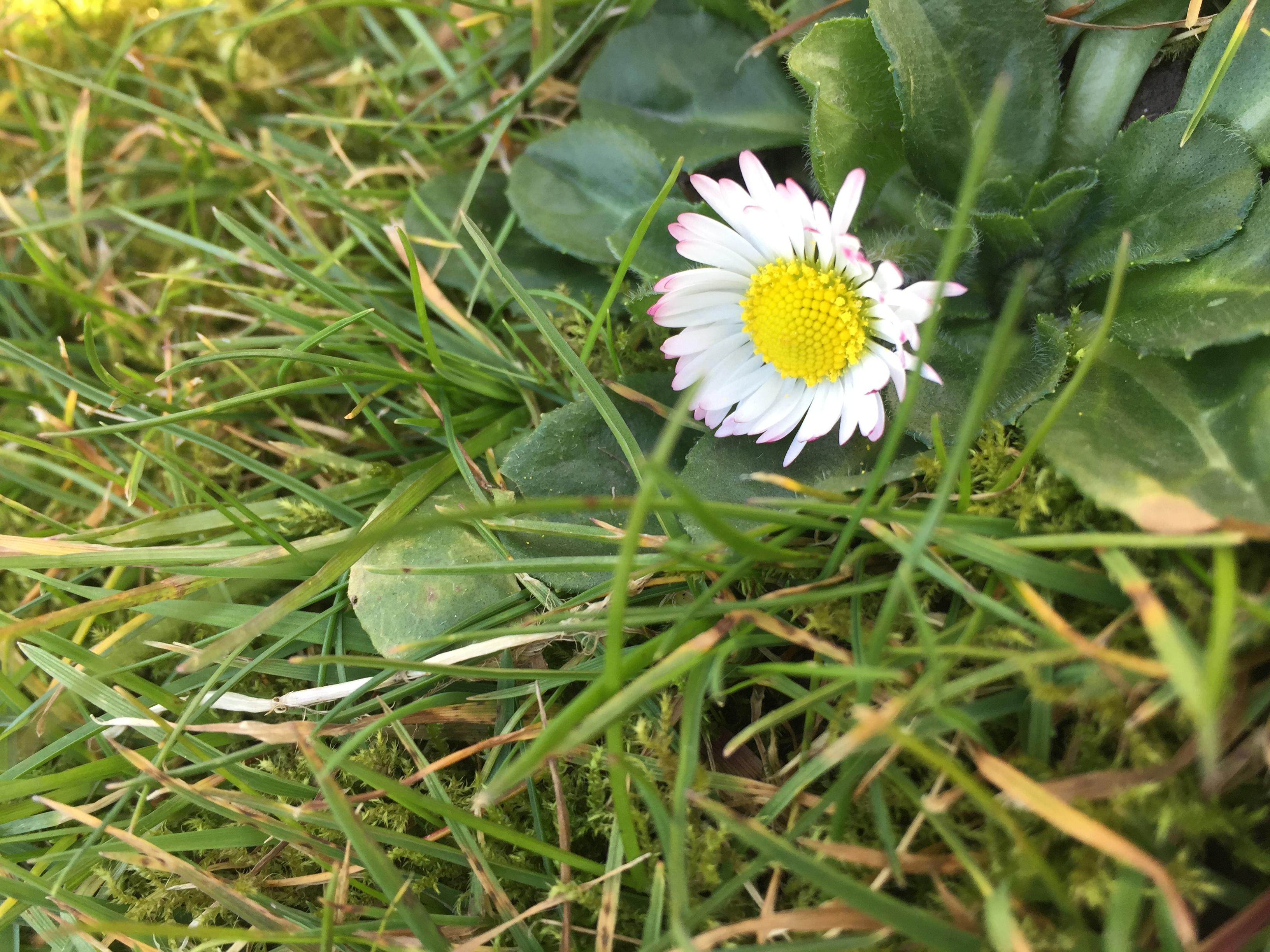 Phoenix Park Flower