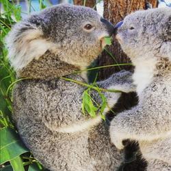 Koala Endangerment