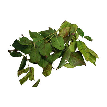 Fresh Almacigo Plant