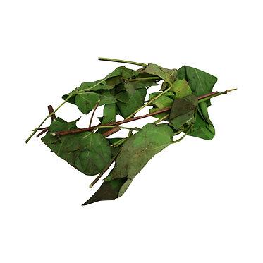 Fresh Algodon Plant