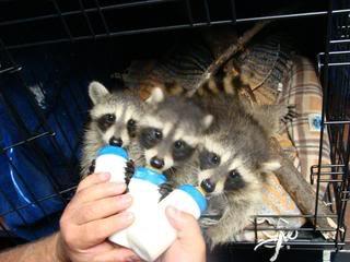 racoons1.jpg