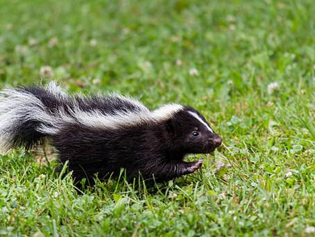 Skunk Season