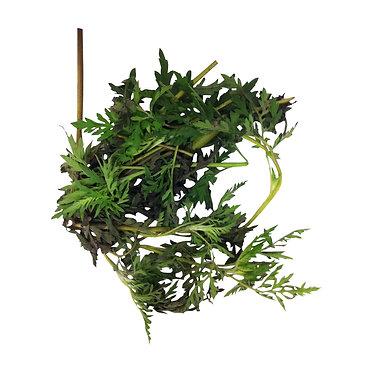 Fresh Altamisa Plant