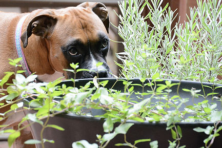 Creating-a-sensory-garden-for-your-dog-B
