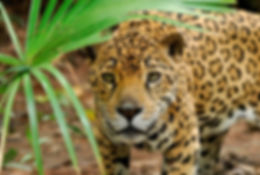 Giaguaro-costarica.jpg
