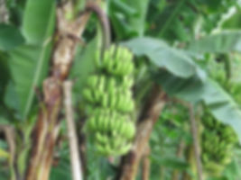 where-do-banana-trees-grow.jpg